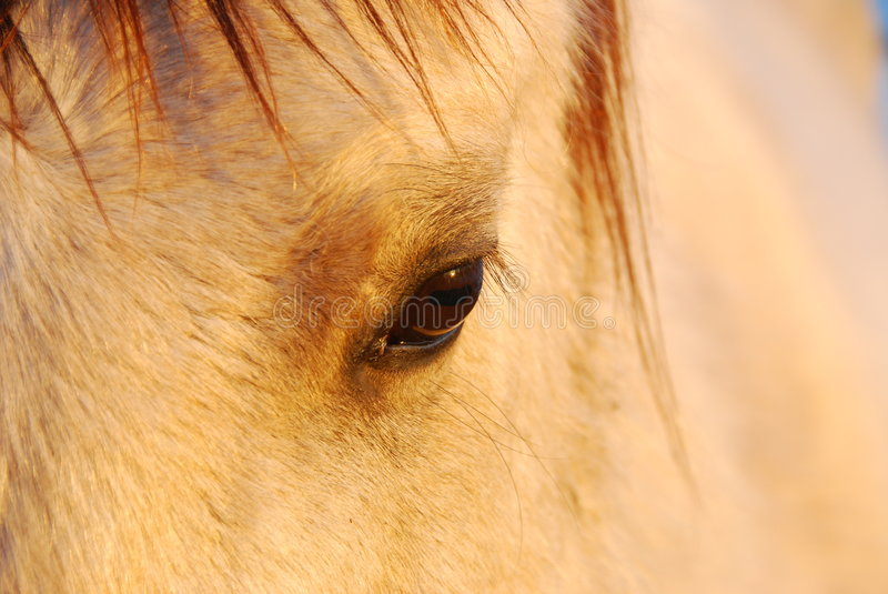 Horse eye. When I took photos of eagles in the field. A horse came to me and wanted me to touch him. His eye is so beautiful I took a close picture of his eye stock photo