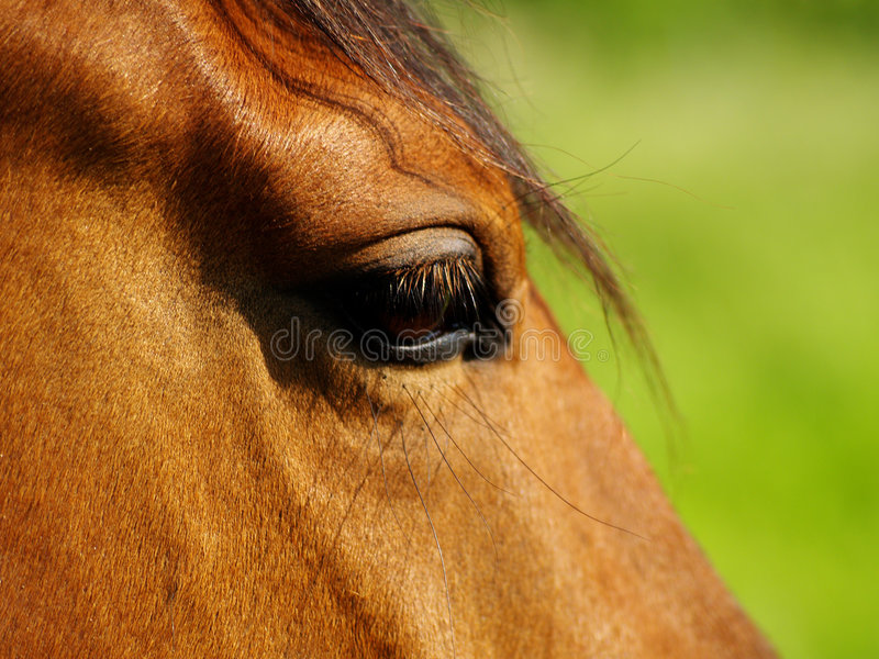 Horse Eye. stock image