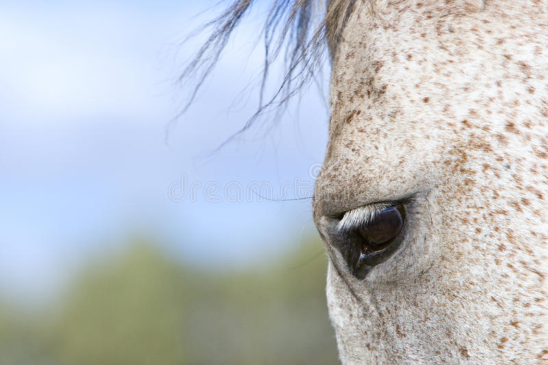 Horse eye. White horse eye with mane moving with the wind stock photo