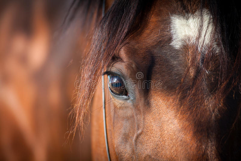 Horse eye. Bay horse eye closeup (detail royalty free stock photos