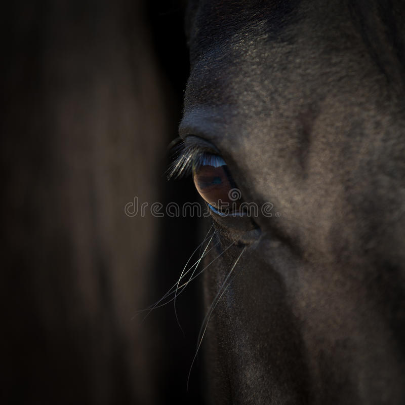 Horse eye close-up. Arabian black horse head. Horse detail on dark background. Square photo stock photos
