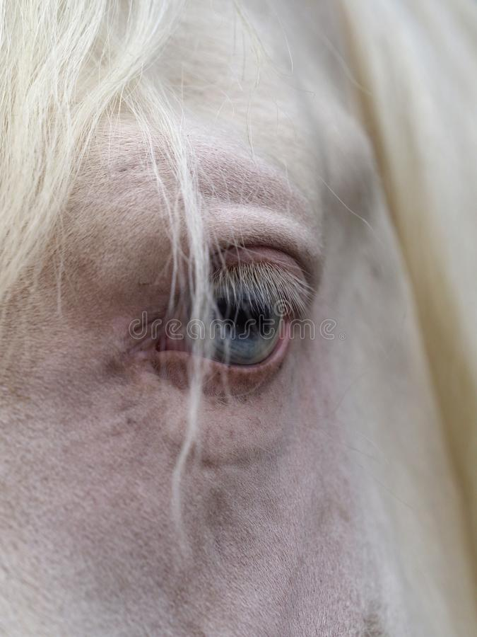 Horse Eye. A close up of a horse with a blue eye royalty free stock photos