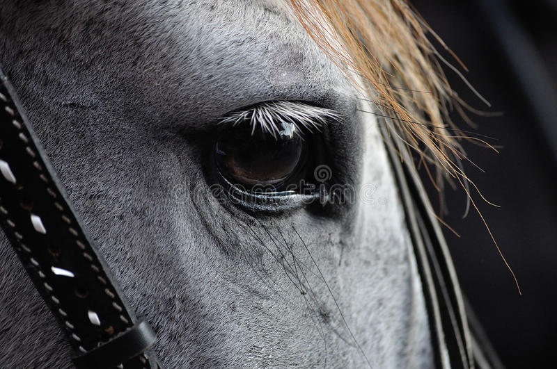 Horse Eye Closeup. White horse head closeup on the eye from the side stock images