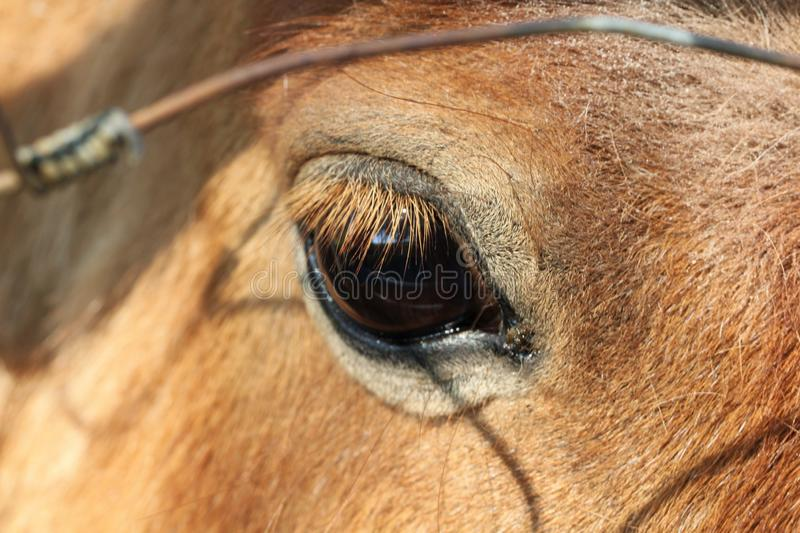 Horse eye. Long lashes brown hair pony animal sunlight stock image