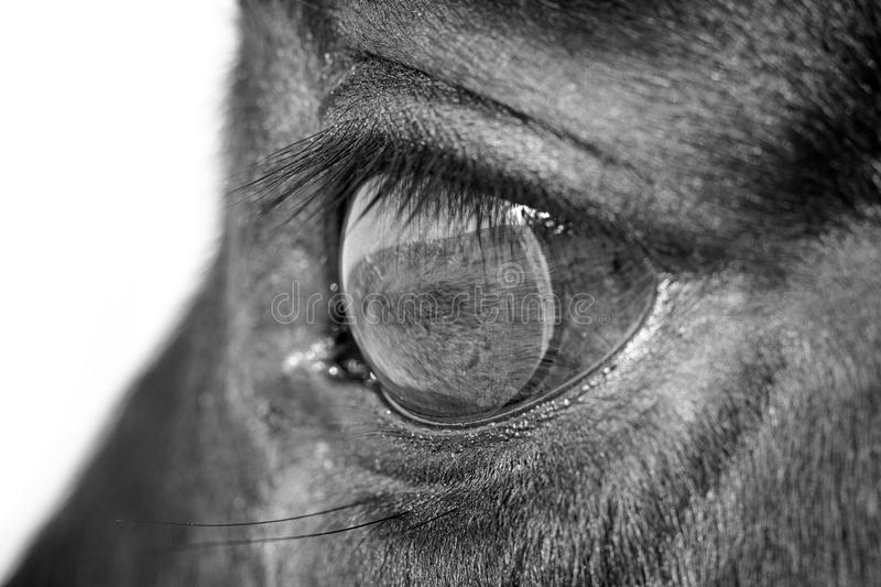 Horse eye macro. Black and white horse eye macro royalty free stock photography