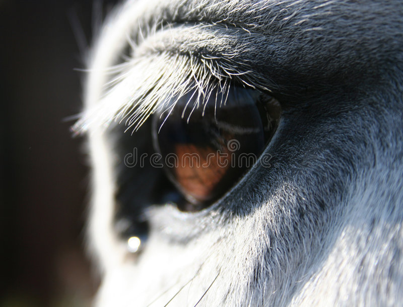 Horse eye macro. Grey white horse macro of chestnut eye stock photos