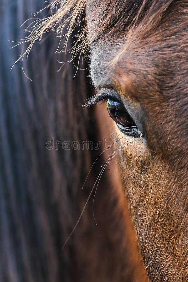 Horse Eye. Reflection in horse (equestrian) eye stock photos