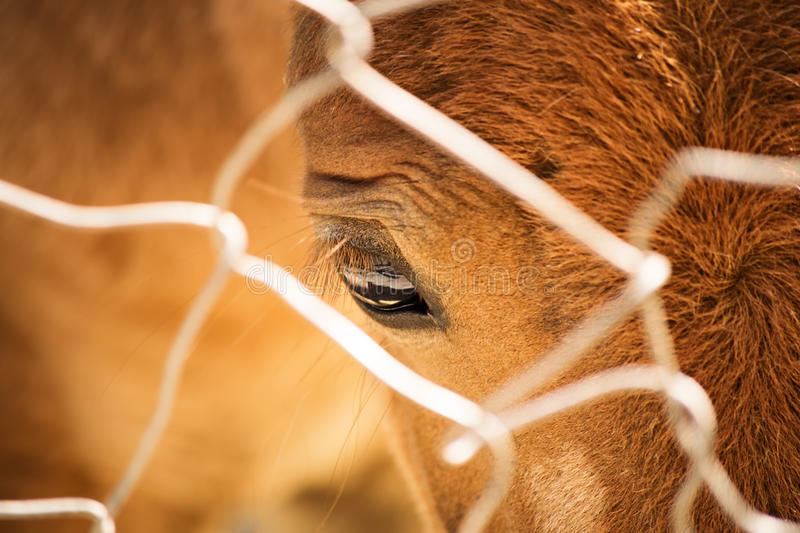 Horse eye. Close up view of a horse eye through a fence stock photography