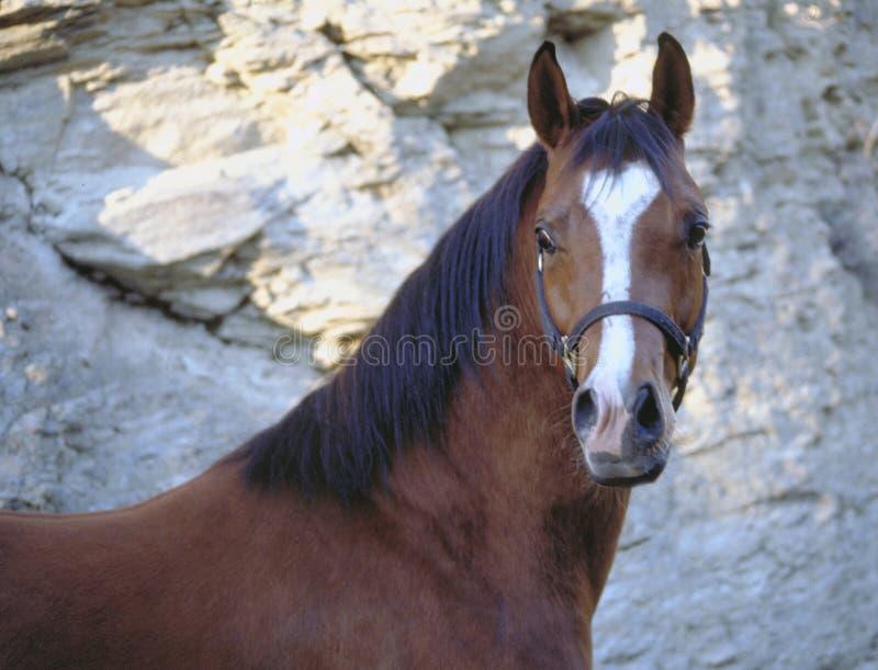 Horse face stock photography
