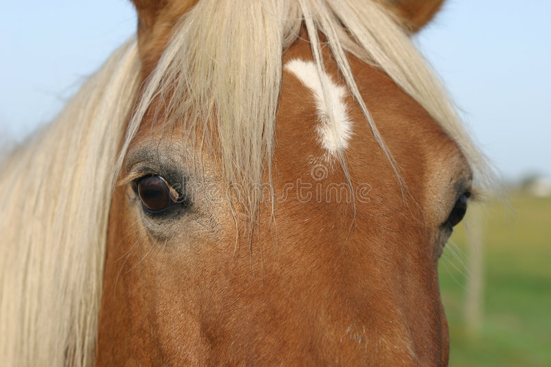 Horse Face royalty free stock images