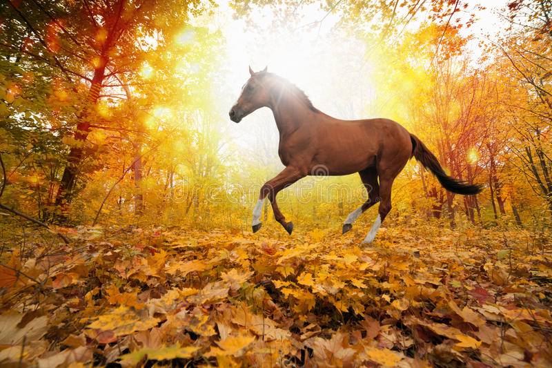 Horse in fall park. Beautiful autumn background - brown horse running in park, yellow, orange, red leaves, bright sunny fall day in park, picture for chinese royalty free stock images