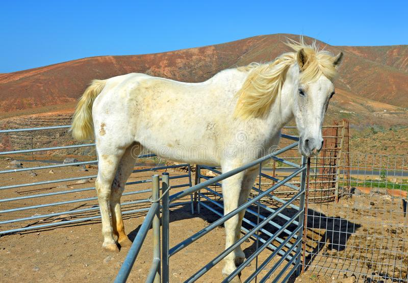 A horse on the farm on Fuerteventura royalty free stock images