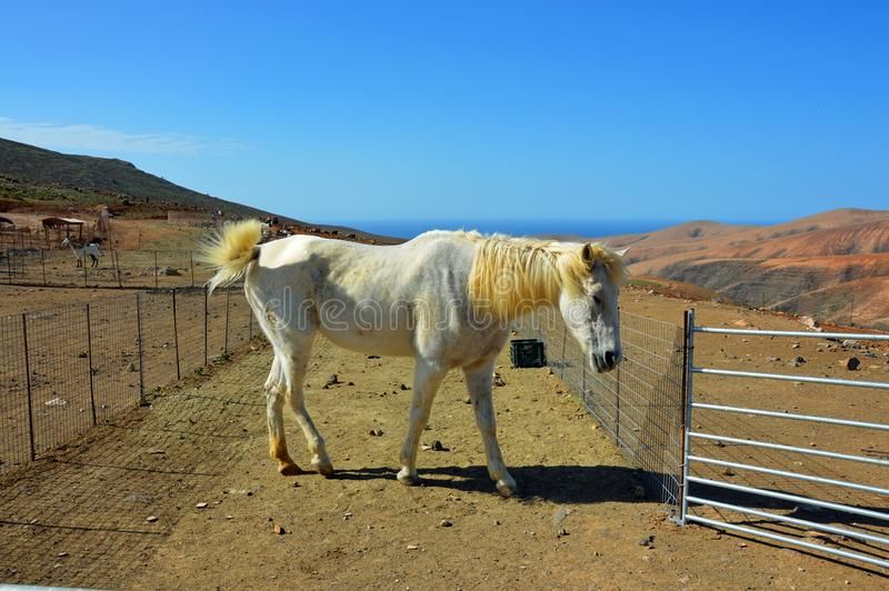A horse on the farm on Fuerteventura royalty free stock photography