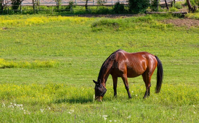 Horse in a Field at an Equestrian Center. Grazing horse in a field at an equestrian center in springtime stock photography