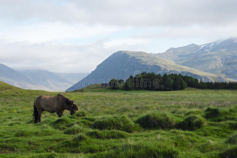 Horse in the fields of Iceland, summer.  stock images