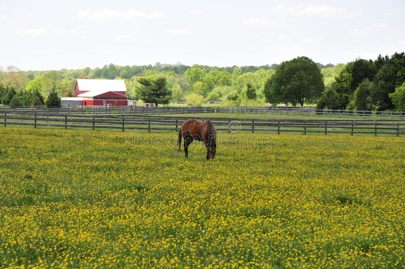 Horse in a flower field royalty free stock image