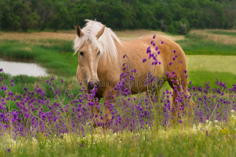 Horse in flower. Palomino horse with long blond male on flower field stock photography