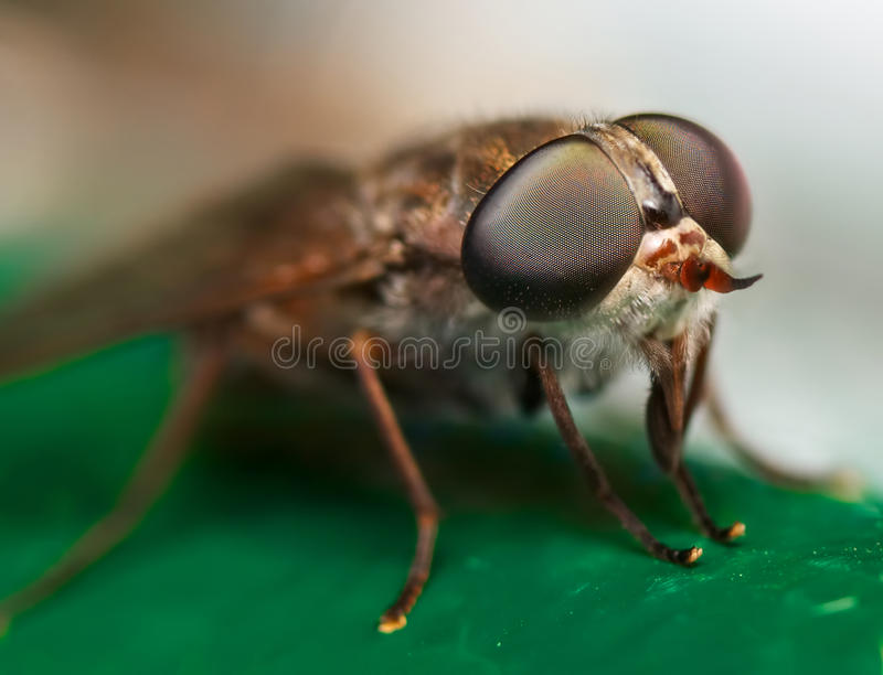 Download Horse fly stock photo. Image of biting, creature, detailed - 28041072