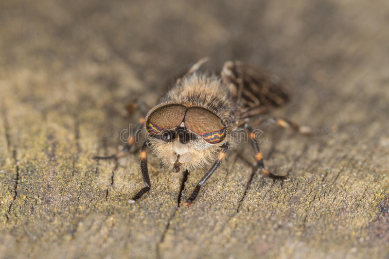 Horse Fly royalty free stock image