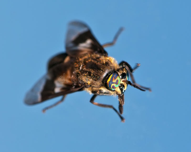 Horse fly eye stock photography