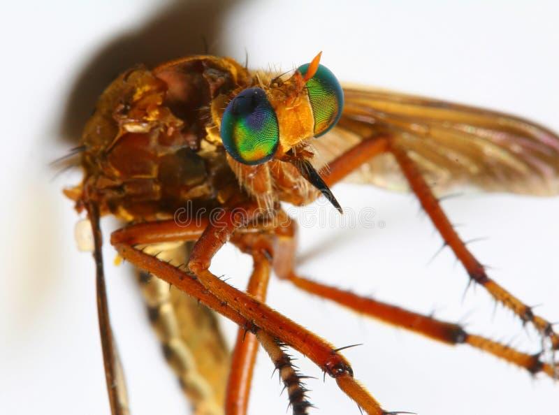 Horse Fly macro. On white background stock photo