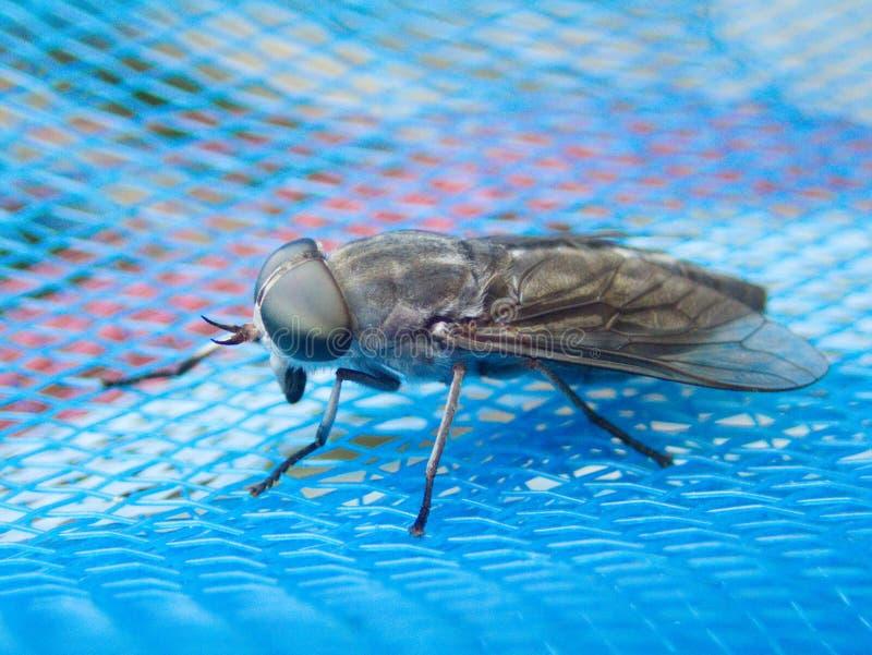 Horse-fly macro, Tabanus macro. royalty free stock photography