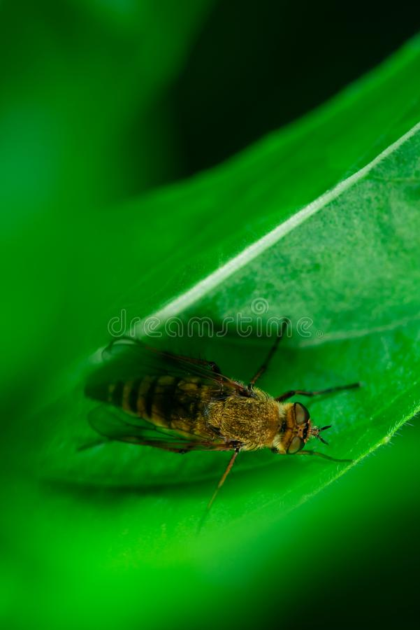 Horse-fly sitting on a green plant, close-up, macro photo stock image