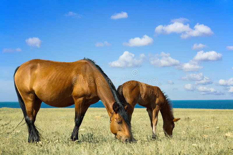Horse with a foal royalty free stock photo