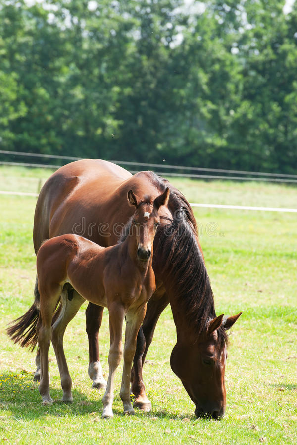 Download Horse With Foal Royalty Free Stock Images - Image: 15297849
