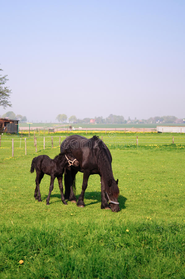 Horse And Foal Stock Photography