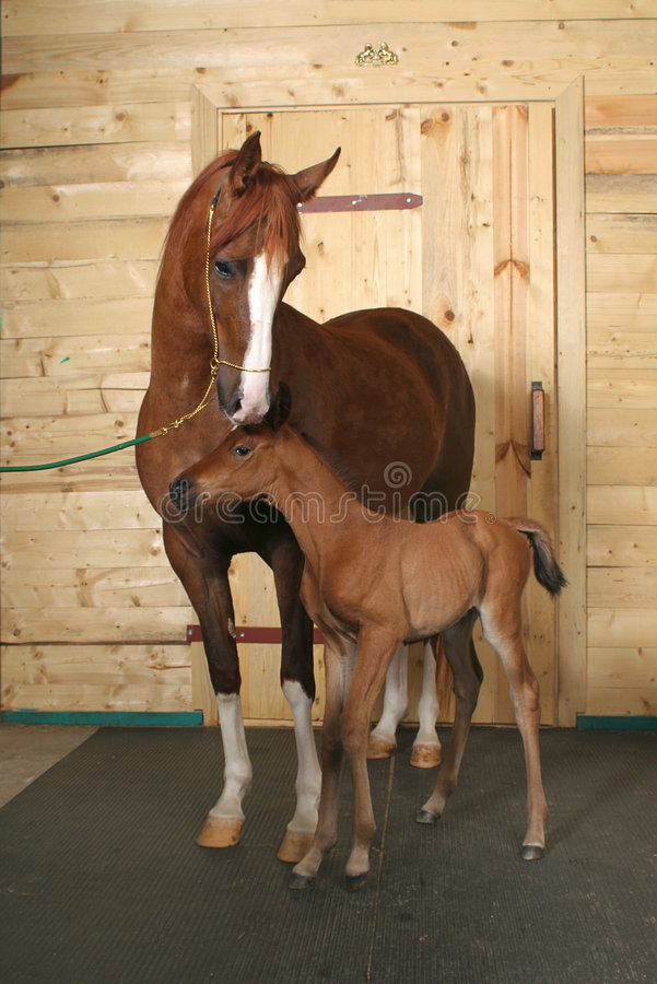 Horse with a foal stock photography