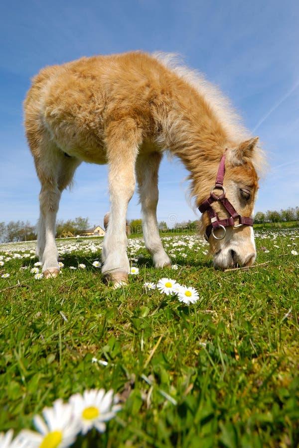 Horse foal eating green grass stock photos