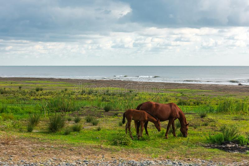 Horse and foal grazing by the sea royalty free stock photos