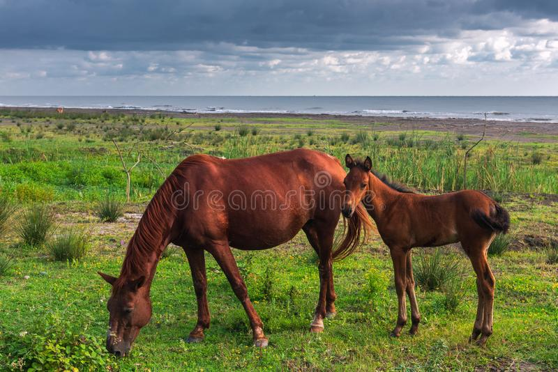 Horse and foal grazing by the sea royalty free stock images