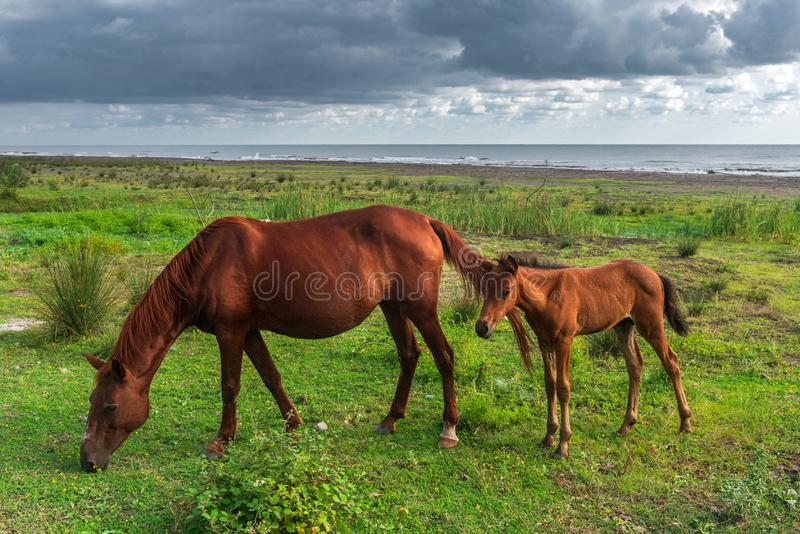 Horse and foal grazing by the sea royalty free stock photo