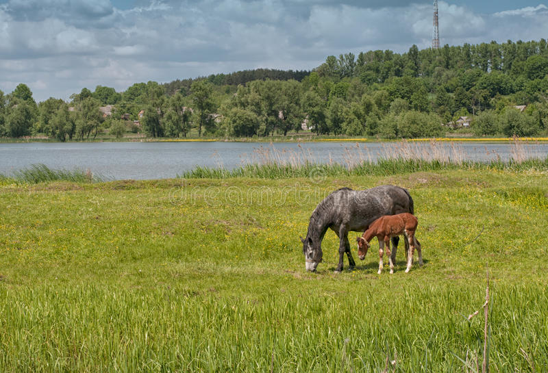 Horse and foal on green pasture near lake forest stock photos