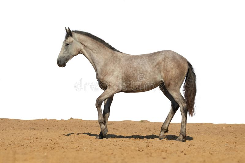 Horse foal jumps on sand on a white background royalty free stock images