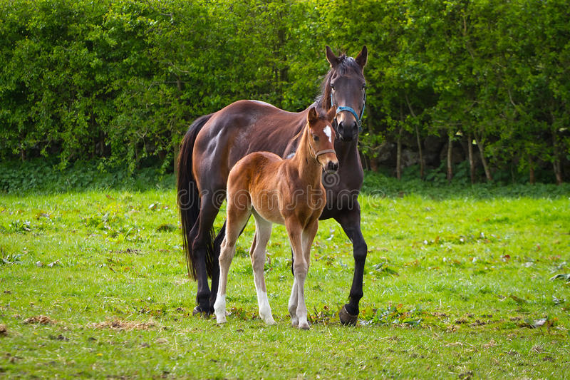 Horse and the foal on the meadow royalty free stock photos