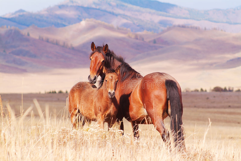 Horse with foal in mountain valley royalty free stock images