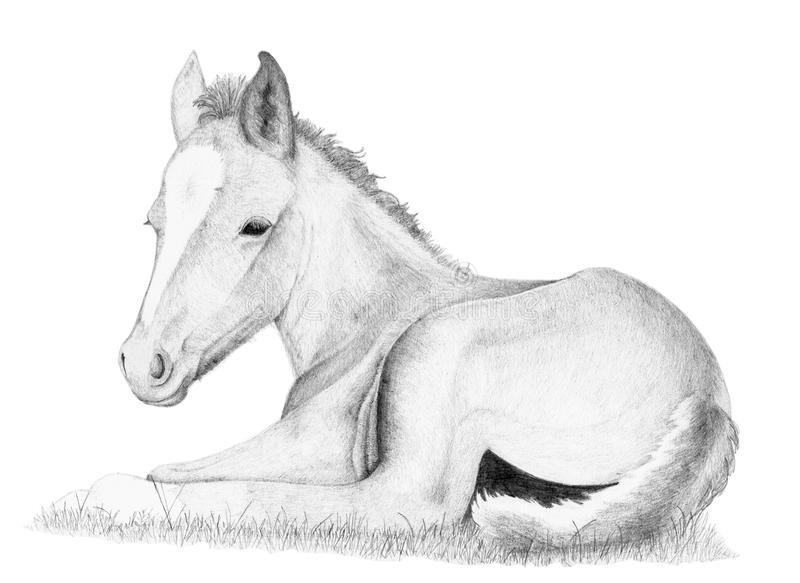 Line Drawing Grass : Horse foal pencil drawing stock illustration of