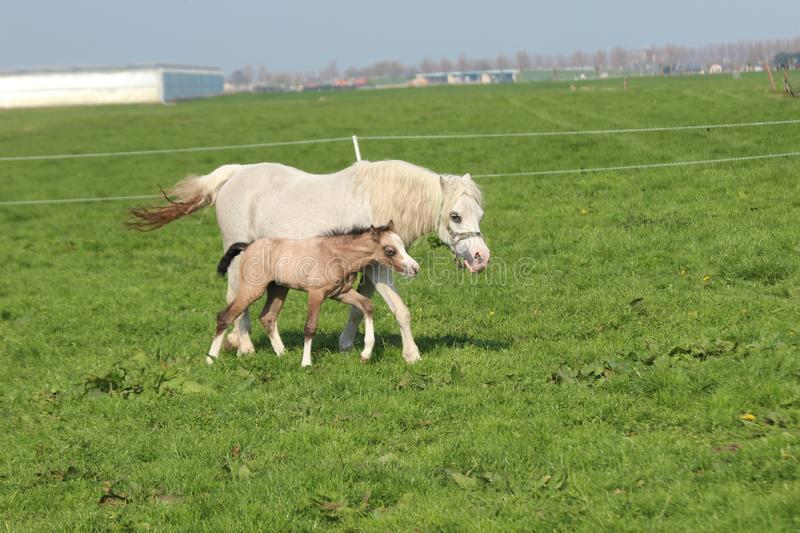 Horse and foal are running over field of grass in the Netherlands. stock photo