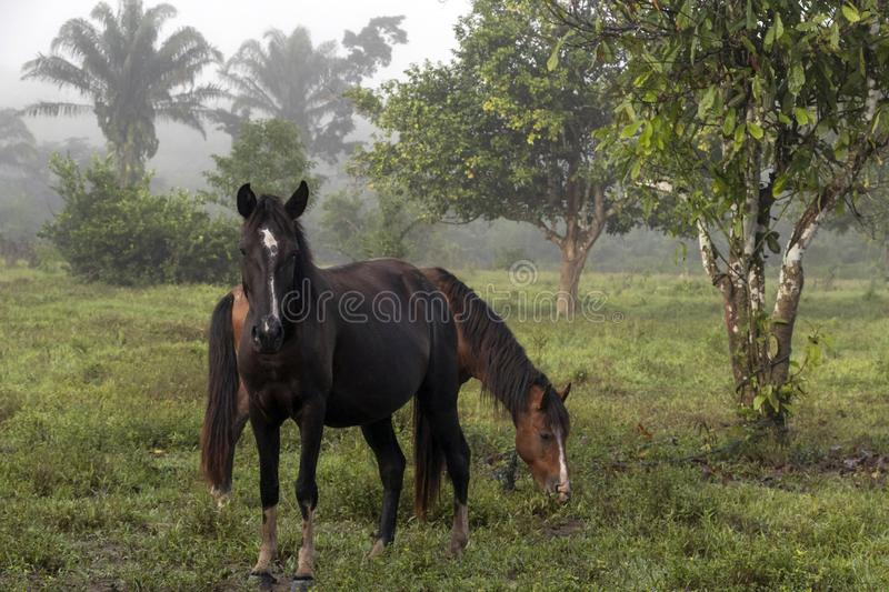 Horse in fog at jungles farm in South America. Landscape with Horse in fog at jungle farm in South America, mysterious, travel, nature, background, adventure royalty free stock images