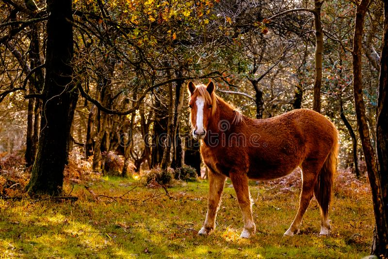 Horse in a Forest Clearing. In the New Forest National Park stock photos