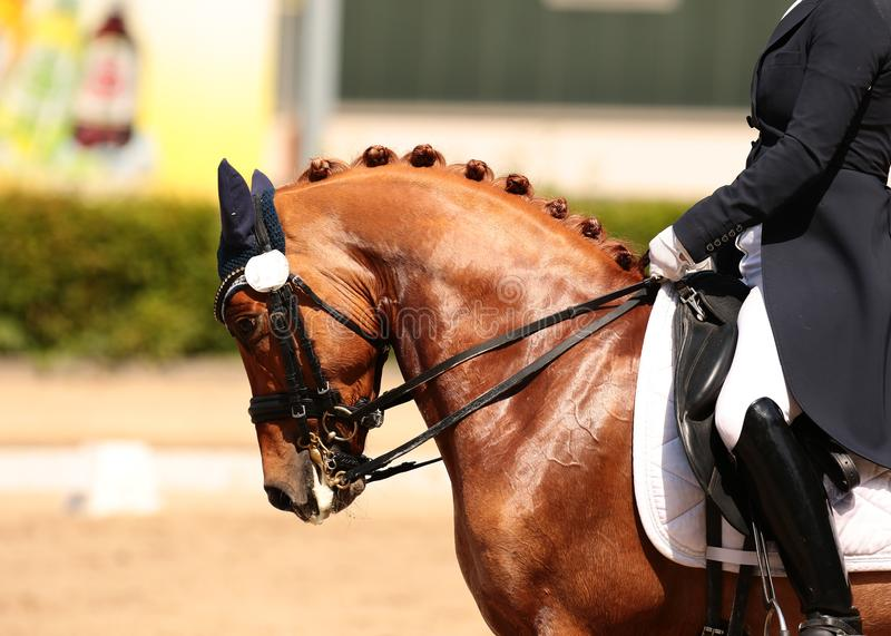 Horse in close-up in the dressage competition at the tournament course. Horse in front of a dressage competition in a close-up, portrait taken from the front of stock image