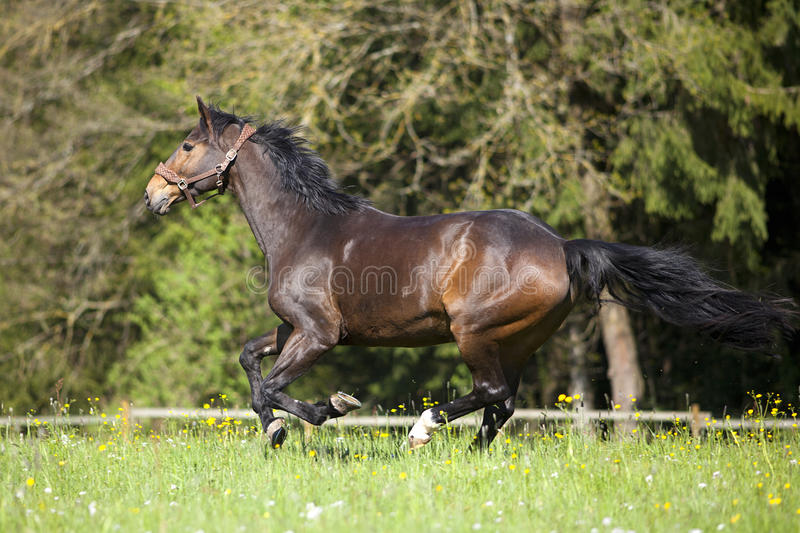 Horse gallop free outside on meadow stock images
