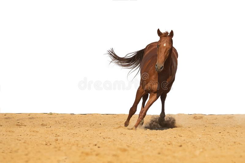 Horse galloping on sand on a white background. Brown and black horse galloping on sand on a white background, without people royalty free stock photography