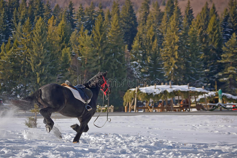Horse galloping on snow. Black Horse galloping on snow royalty free stock images