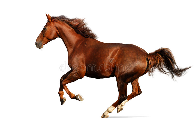 Horse gallops - isolated on white stock photos