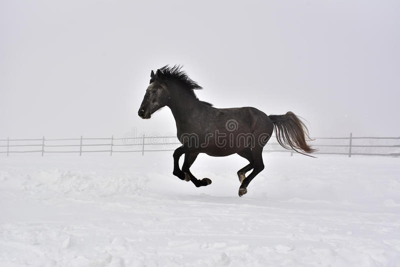 The Horse gallops in winter royalty free stock photography