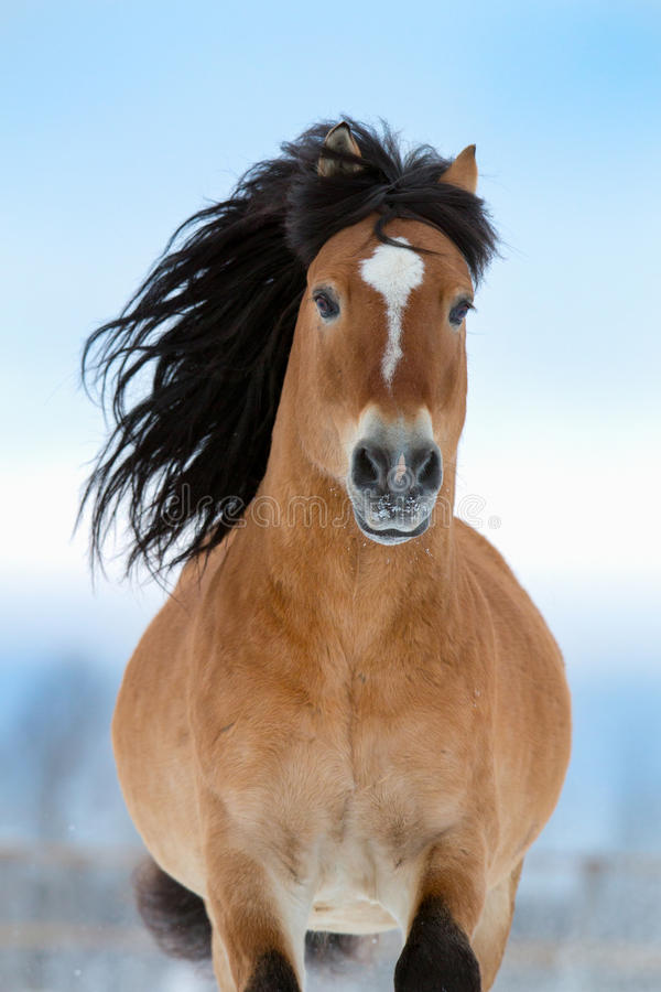 Horse Gallops In Winter, Front View. Stock Photos